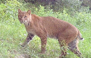 Trail camera shows bobcat in Tyrone