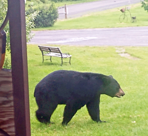 Black bear visits Barrington front yard