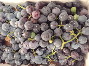 State holds concord grape summit