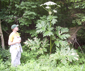 Giant hogweed plant: don't touch