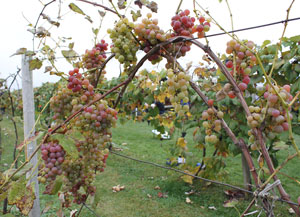 Economic impact of grape, juice, wine: $4.8B